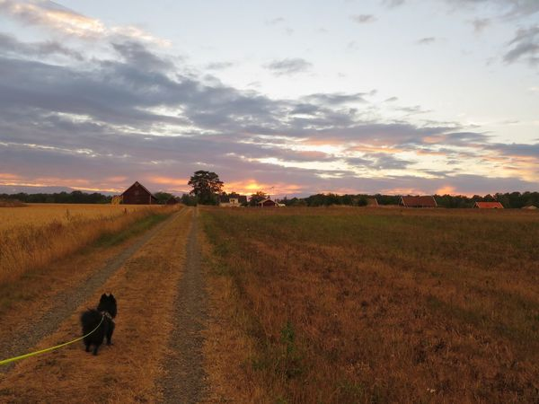 Walking home from lake. Dog Evening Light Summer July Warm Outdoors Landscape Fields Sky And Clouds Tree Sunset Rural Scene Agriculture Field Crop  Sky Landscape Close-up Cloud - Sky