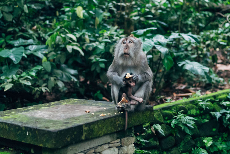 Macaque with baby in monkey forest sanctuary in ubud, bali