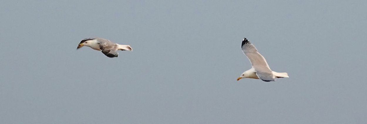 Möwen Möwe Möwe Im Flug Seagull Seagulls SEAGULL IN FLIGHT Nordsee Nordseeküste Northern Sea Borkum Germany Verfolgungsjagd Jagd Hunt