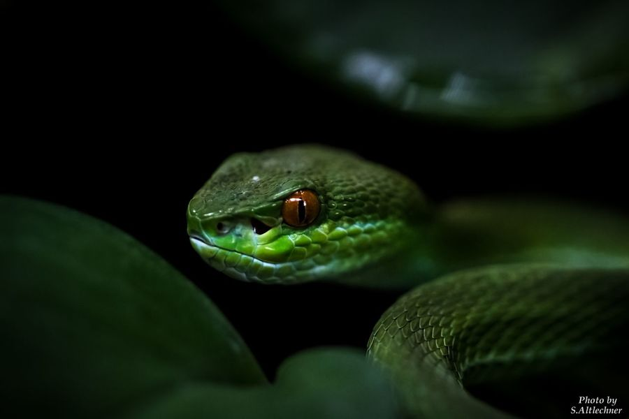 Weißlippen Bambusotter - Animal Animal Head  Animal Photography Animal Themes Animals Close-up Danger Dangerous EyeEm EyeEm Gallery EyeEm Nature Lover Germany Green Color Nrw Germany One Animal Reptile Reptile Photography Rheinberg Snake Snake Photography Terrazoo Toxic Weißlippen Bambusotter