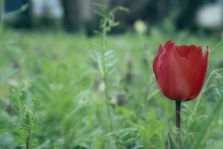Showcase April Colors EyeEm Flower Flowers Spring 春 Spring Time Bokeheffect Spring Colours Bokeh EyeEm Nature Lover Tulip チューリップ Tulips🌷
