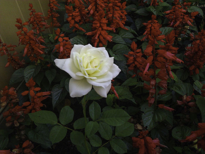 A solitary, white rose surrounded by a garden of red flowers. Blooming Blossom Botany Close-up Contrast Dark Flower Flower Head Red Rosé Rose - Flower Solitary Solo White