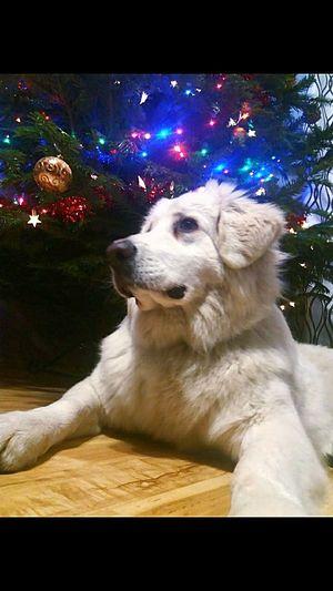 Pies Bianka Love Boże Narodzenie Pets Dog Christmas Lights Christmas Christmas Present