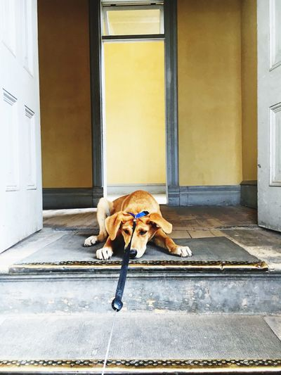 Relaxed dog at the doorway