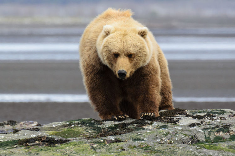 Alaska Animal Themes Animal Wildlife Animals In The Wild Bear Bear Close-up Day EyeEmNewHere Grizzly Bear Katmai National Park Mammal Nature No People One Animal Outdoors Rock - Object Water Wildlife Wildlife & Nature Wildlife Photography