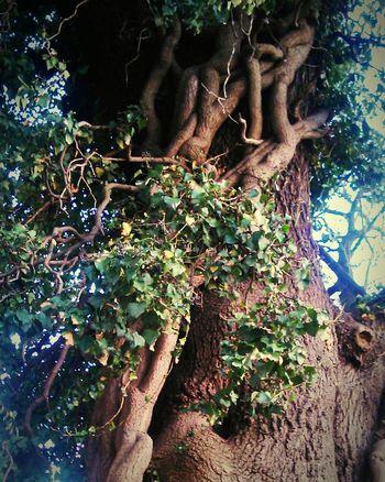 Tree Liana Uzhgorod