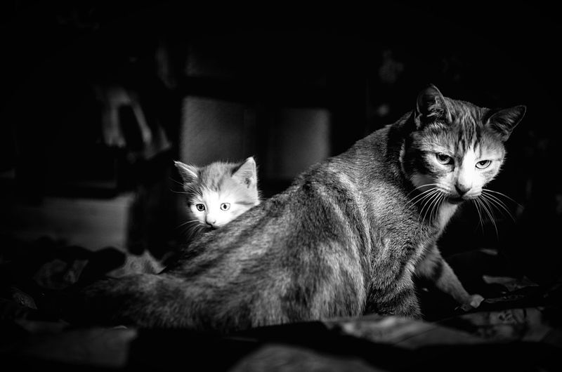 Mother cat and her kitten. The more fearful I got, the more fearless mother became. And she spread her wings over me like an impenetrable wall. Cat Kitten Protective Mother Protective Kitty Kitty Cat Cats Mothering Domestic Animals Domestic Cats Cute Black And White Black And White Photography Monochrome Monochrome Photography Pet Portraits Animal Themes Animal Instincts Basic Instincts Feline