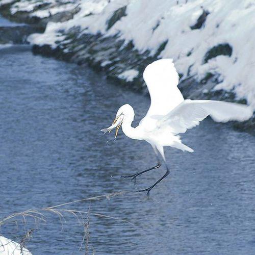 The elegant Great Egret GreatEgret Catchoftheday Heron Whiteheron ☺