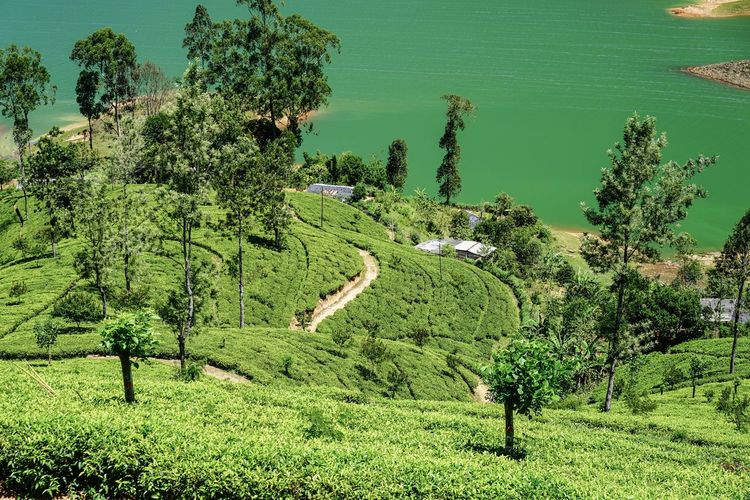 Black Tea Sri Lanka Tea Plant Tea Plantation  Green Color Plant Water Growth Nature No People Day Tree Lake
