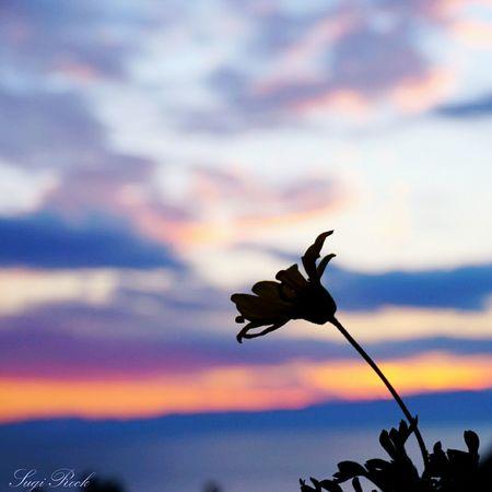 江ノ島サムエル・コッキング苑 江の島 江ノ島展望台 一輪の花 イルミネーション2015-2016 夕焼け空