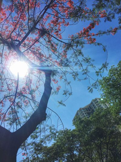 """""""Sometime too hot the eye of heaven shines..."""" It's Too Hot In The Philippines Sunshine Bright Sun Sunlight FireTree Summer Heat Summer Summertime Burn Baby Burn Eye Of Heaven Philippines Eyeem Philippines"""