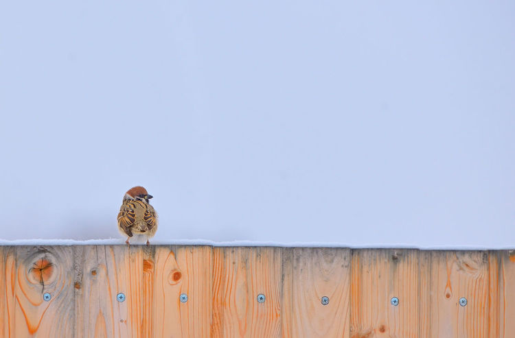 Little Sparrow on fence in winter time Close-up Copy Space Day Frozen Little Sparrows Macro Nature No People Outdoors Winter Wood - Material