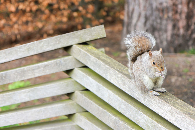 Grey Squirrel Autumn colors Tree Animal Wildlife Animals In The Wild Bench Close-up Cute Day Focus On Foreground Furry Grey Squirrel Grey Squirrel Eating Hedge Looking Mammal Nature No People One Animal Outdoors Rodent Seat Squirrel Tame Vertebrate Wood - Material