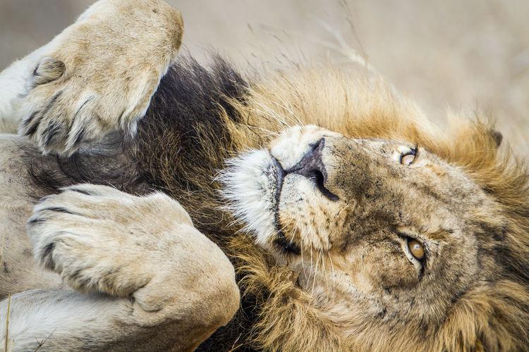 Close-up of lion at kruger national park