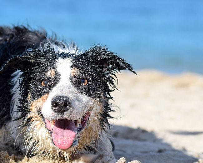 Close-up portrait of dog on beach