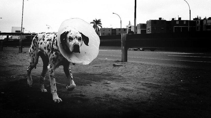 103th Dalmatian. Finding The Next Vivian Maier Streetphotography The Human Condition WeAreJuxt.com