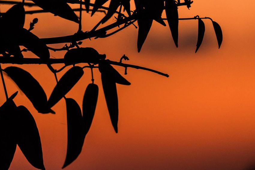 A high contrast pic of some leafs against the beautiful sunset Orange Sky Sunset High Contrast EyeEm Selects Orange Color Shadow Nature Plant No People Silhouette Tree Leaf Branch Outdoors Beauty In Nature Sunset Sky Plant Part