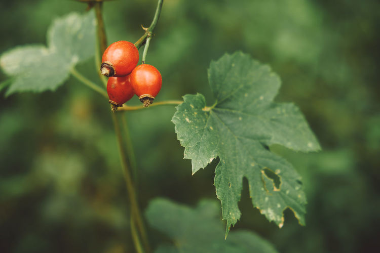 Rosehip Beauty In Nature Berry Bush Close-up Focus On Foreground Food Food And Drink Freshness Fruit Green Color Growth Healthy Eating Herbal Leaf Nature Red Red Rosehip