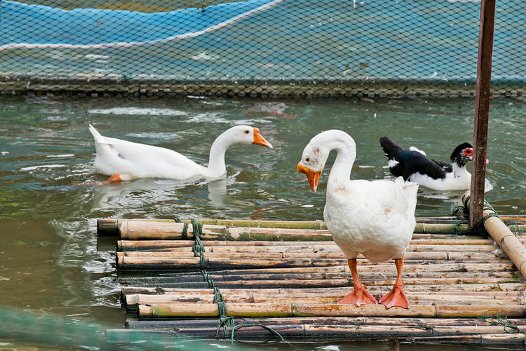 tiny little feet of children on leg White Isolated Two Nobody Canadensis Bird Pair Canada Shot Feather  Pond Domesticated Duck Farm Poultry Lake Waterfowl Branta Beak Goose Avian Background Domestic Water Wild Nature Vertebrate Animal Wildlife
