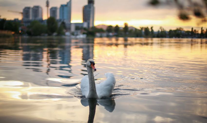 Animals In The Wild Animal Themes Swan Water Reflection Lake Bird Swimming One Animal Nature No People Water Bird Animal Wildlife Outdoors Day Beauty In Nature Close-up Sunset