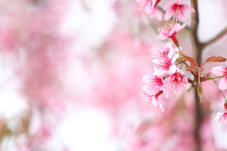 Backgrounds Pink Color Flower Flowering Plant Plant Beauty In Nature Vulnerability  Springtime Growth Blossom Tree Nature Close-up Cherry Blossom Branch No People Petal Selective Focus Outdoors Cherry Tree Flower Head Plum Blossom Bunch Of Flowers Sakura Sakura Blossom