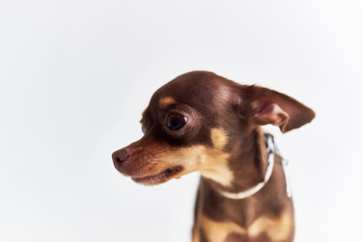 Close-up of a dog over white background