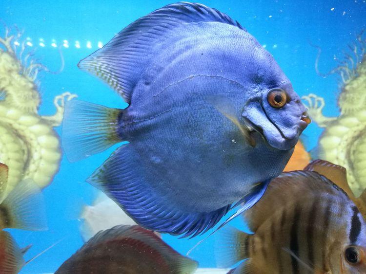 Fish Animal Themes Swimming Underwater Blue Water Animals In The Wild Animal Wildlife Close-up Nature Aquarium No People Discus Discus Fish Fish