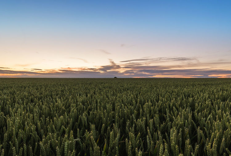 Agriculture Beauty In Nature Cereal Plant Crop  Day Farm Field Freshness Growth Nature No People Outdoors Rural Scene Scenics Sky Sunset Tranquility