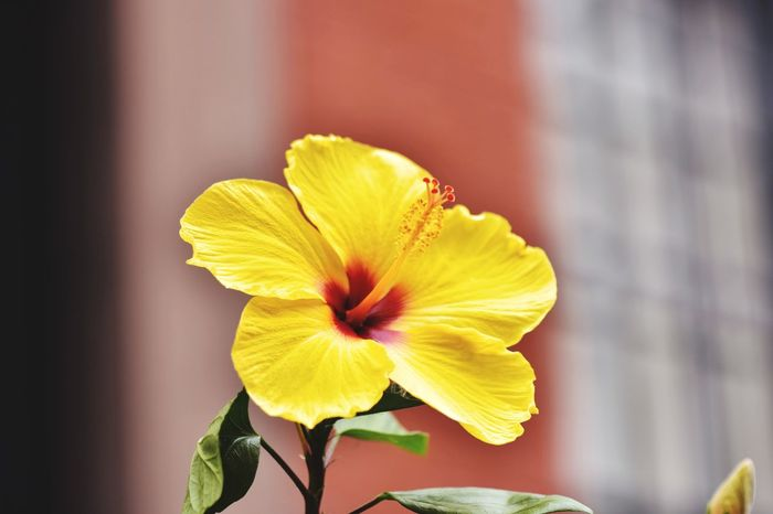 Paint The Town Yellow Flower Fragility Yellow Petal Flower Head Freshness Beauty In Nature Nature Close-up Plant Blossom Daffodil No People Day Springtime Outdoors Hibiscus