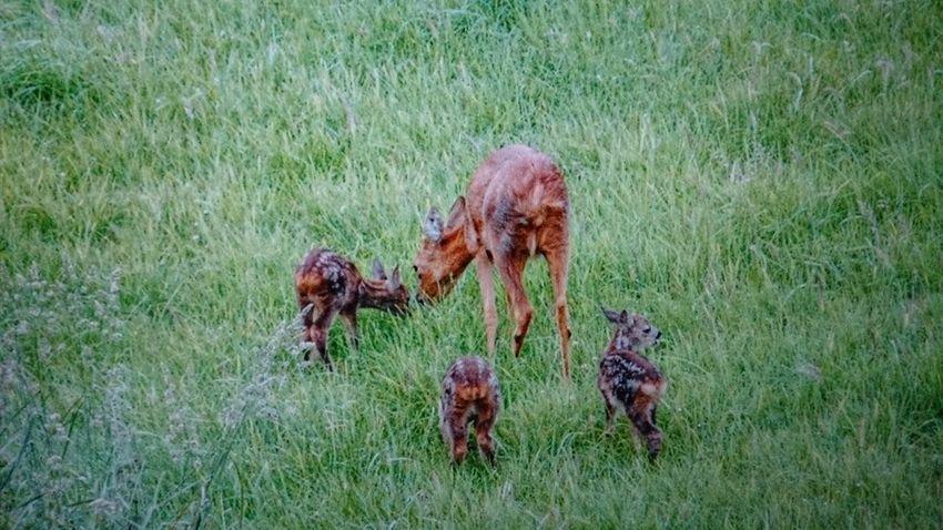 Wildlife Nature Photography Rehe meine RehFamilie Tierfotografie Wildlife & Nature Im Wald Eyemphotography EyeEm Nature Lover Wildlife And Nature Wildlife Photography Animalphotography Rotwild Kitz