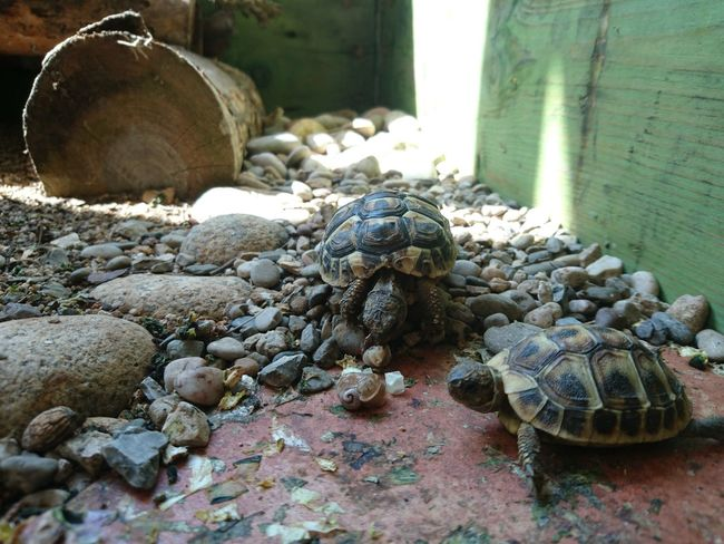 Tortoise Tortoises Tortoiselife Tortoise Pet Animal Photography Animal Eating