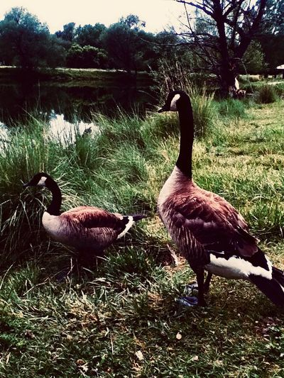 Adam and Eve Bird Animals In The Wild Animal Themes Goose Grass Animal Wildlife Nature Growth Togetherness Beauty In Nature Field Gosling Day No People Greylag Goose Outdoors Water Bird