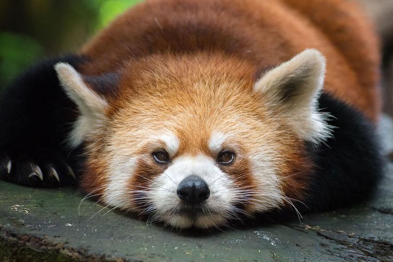 Red panda Portrait Looking At Camera Red Panda Close-up Panda - Animal Raccoon Whisker Animal Nose Animal Eye Animal Face