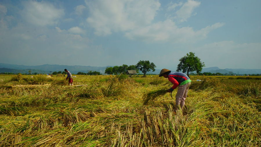 rice harvesting in Majalengka, West Java. Field Agriculture Rural Scene Rice Field Rice Paddy Harvest Time Harvest Season Harvesting The Land Majalengka