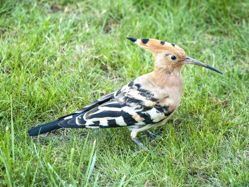 Animal Themes Animals Animals In The Wild Animals In The Wild Bird Bird Photography Birds Close-up Day Environment Field Grass Green Color Hoopoe Hoopoe Bird Hoopoes Nature Nature No People One Animal Outdoors Upupa Upupa Epops Wildlife