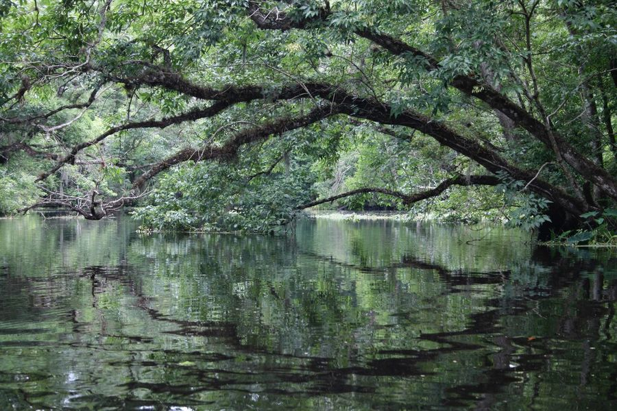 Live Oak hanging over swampy Deep Creek. Tree Reflection Nature Water Tranquility Scenics Outdoors Beauty In Nature Branch Green Color No People Swamp Stream Creek Live Oak
