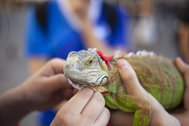 Lizard in the hands of a tourist. chameleon on a leash. green animal.