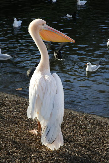 Bird profile Taking Photos Beautiful Nature 3XPUnity Nature Birds Of EyeEm  Reflections Reflection Photography Pelican Bird Bird Photography Animal Photography Bird Water Lake White Color Close-up Pelican Beak Animal Neck