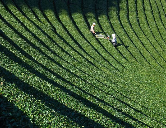 Harvesting Tea With Machinery At Tea Plantation
