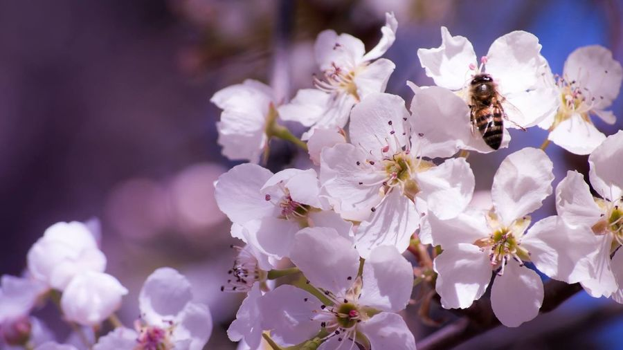 Cherry Blossoms and a Bee Flower Fragility Insect One Animal Petal White Color Beauty In Nature Nature Animal Themes Freshness Growth Blossom Animals In The Wild Springtime Flower Head No People Day Close-up Bee Outdoors