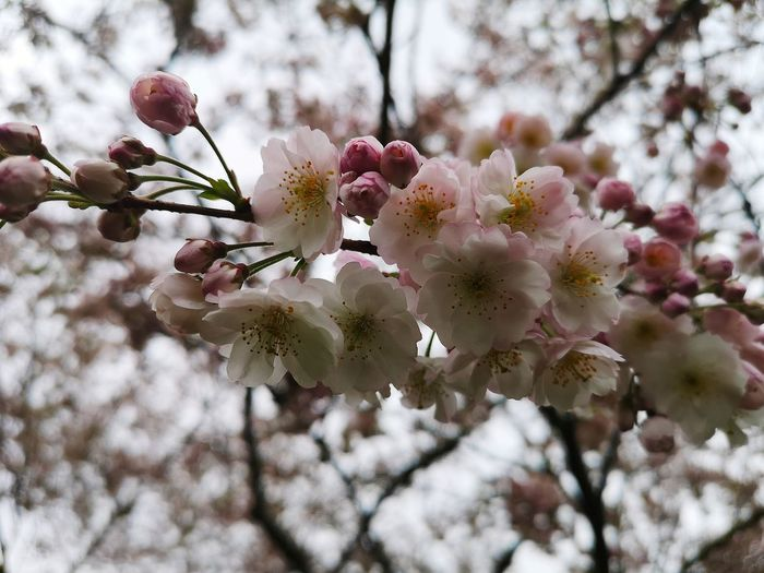 Japanese Cherry Blossoms Flower Head Tree Flower Branch Springtime Pink Color Petal Blossom Twig