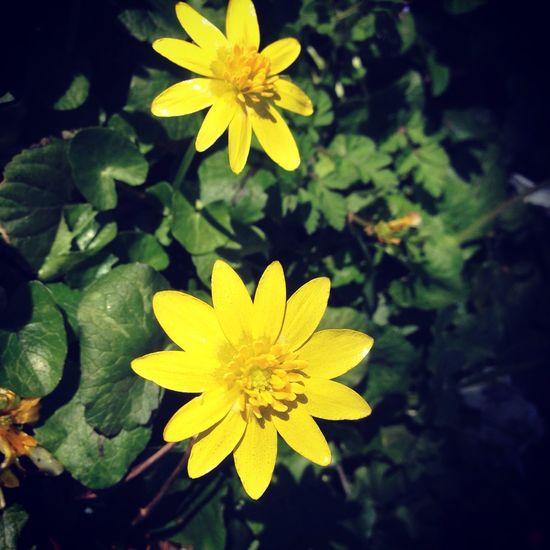 Springtime Spring Flower Yellow Petal Flower Head Nature Freshness Growth