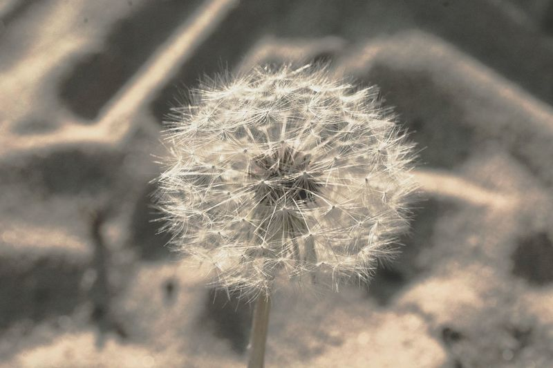 Dandelion Sand Taking Pictures Summer Monochrome Beautiful Nature Seeds Naturelovers Eyeemphotography Nature Torus Beautiful part2 🌻