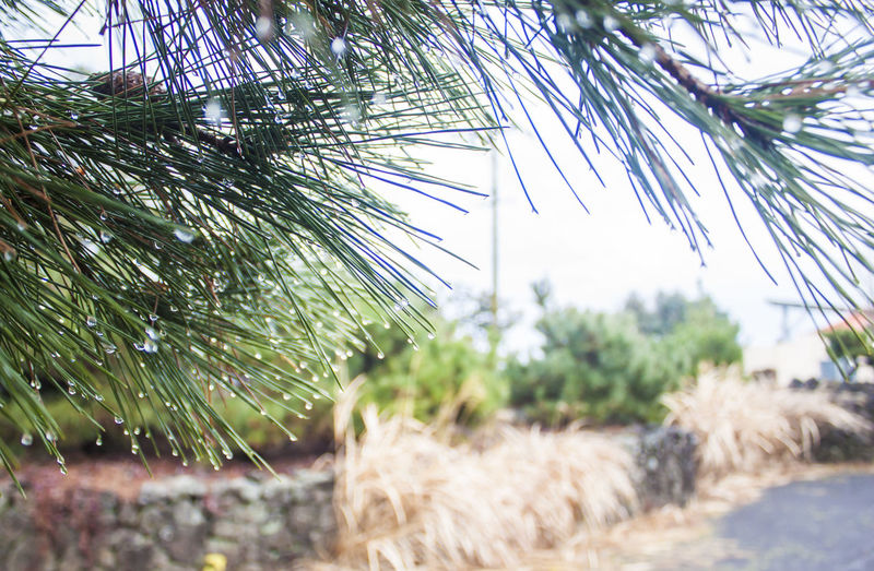 Plant Tree Day Nature No People Selective Focus Close-up Focus On Foreground Outdoors Leaf Pine Tree Needle - Plant Part Tranquility Green Color