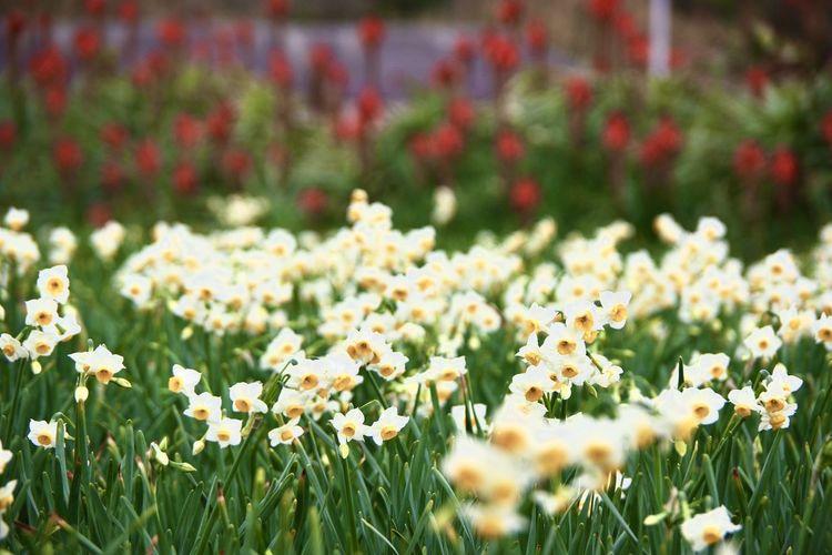 爪木崎公園 爪木崎 アロエの花