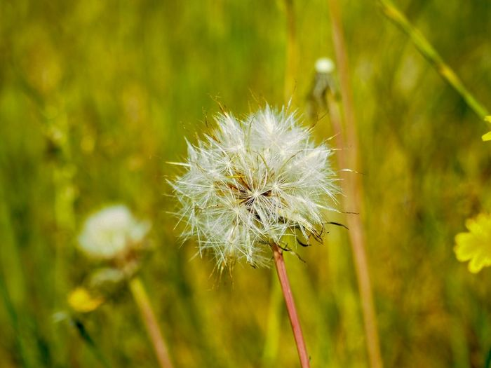Dandelion Consciousness Details Nature Moment Mindfulness Wind Flower Flowering Plant Plant Fragility Vulnerability  Beauty In Nature Freshness Focus On Foreground Close-up Dandelion Flower Head Nature Day No People Inflorescence Dandelion Seed Outdoors Softness Growth