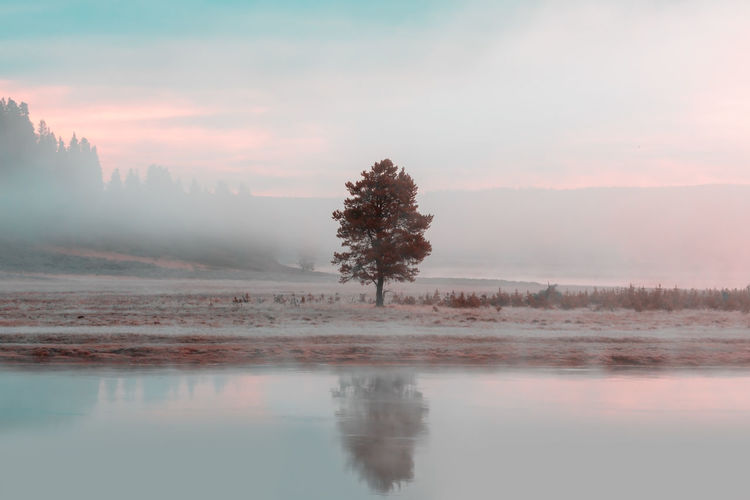 Single tree in the pastel morning mood at the yellowstone lake. yellowstone national park, usa