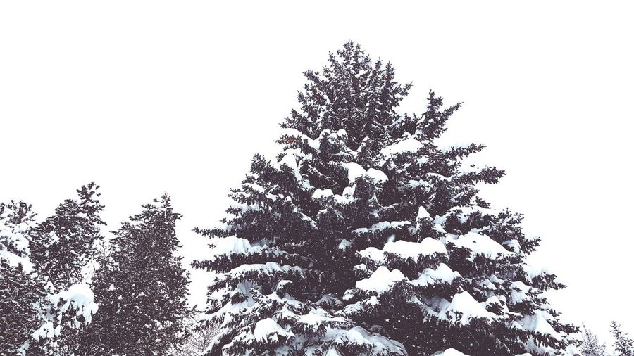 Snowmageddon Nature Sky No People Day Growth Outdoors Beauty In Nature Pine Tree Pine Trees Pine Trees Against The Sky Pine Tree In The Snow Pine Cones On Pine Tree Winter Winter Wonderland Snow Snow Covered Snowy Trees Mountain Town Kimberleybc Canada Pine Trees Silhoutte Copy Space EyeEmNewHere Snowmageddon2017