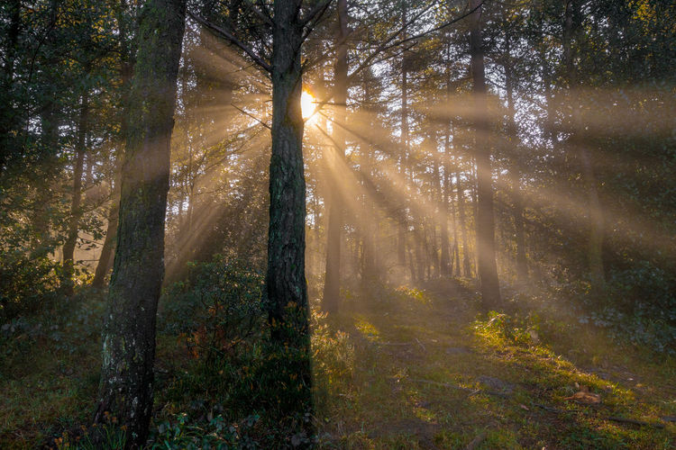 Autumn Beauty In Nature Day Environment Forest Land Landscape Nature No People Non-urban Scene Outdoors Pine Tree Pine Woodland Plant Scenics - Nature Streaming Sunbeam Sunlight Tranquil Scene Tranquility Tree Tree Trunk Trunk WoodLand