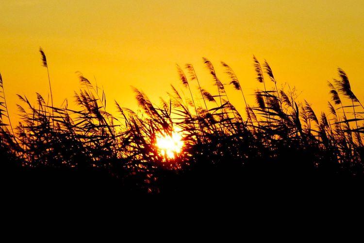 Silhouette plants growing on field against orange sky